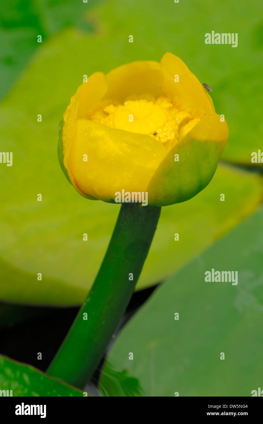 Yellow Water-lily or Brandy-Bottle (Nuphar lutea), North Rhine-Westphalia, Germany Stock Photo