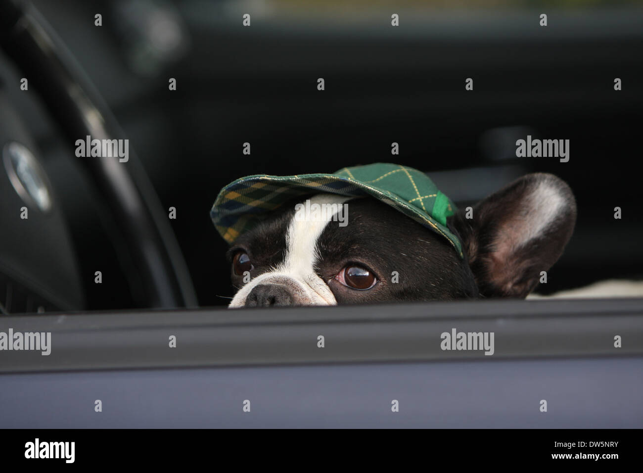 Dog French Bulldog / Bouledogue Français / adult looking out of car window - Stock Image