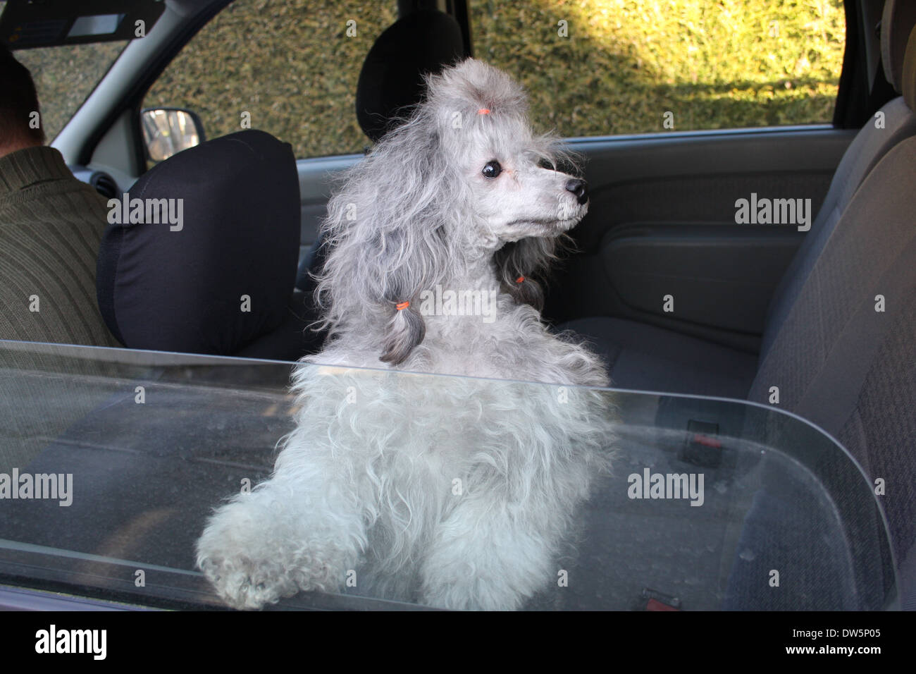 /Dog Poodle / Pudel / Caniche , Miniature / Dwarf / Nain /  adult looking out of car window - Stock Image