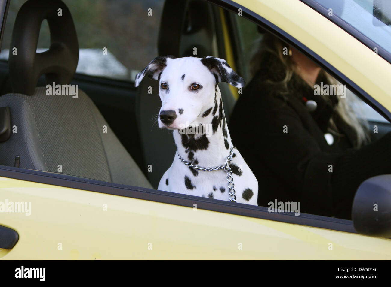 /Dog Dalmatian / Dalmatiner / Dalmatien  / adult looking out of car window - Stock Image