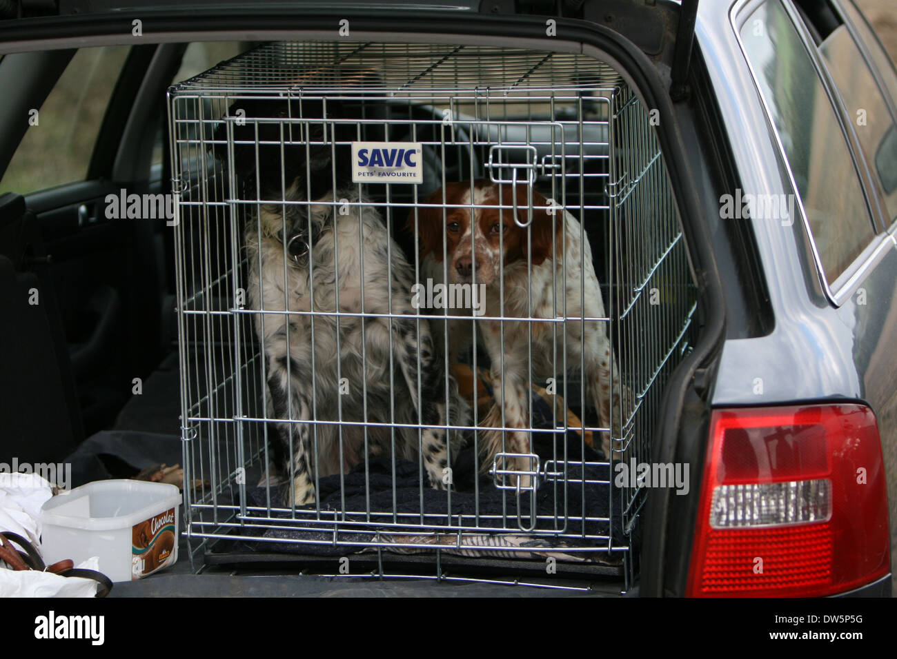 Dog Brittany Spaniel / Epagneul breton / two adults traveling in a cage in the trunk of the car Stock Photo