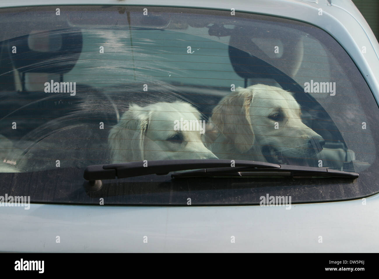 Dog Golden Retriever / two adults in a car looking out window - Stock Image