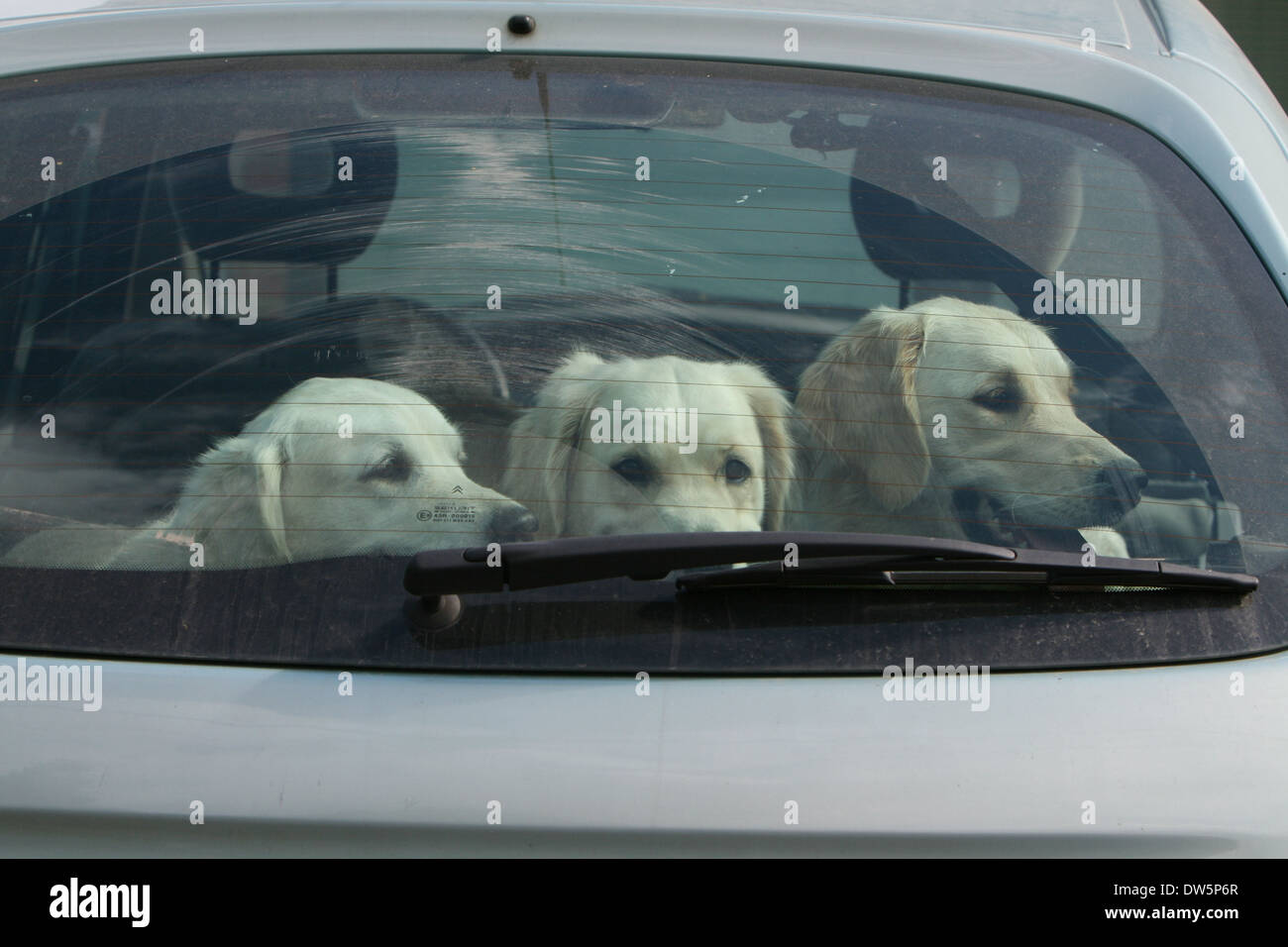 Dog Golden Retriever / three adults in a car looking out window - Stock Image