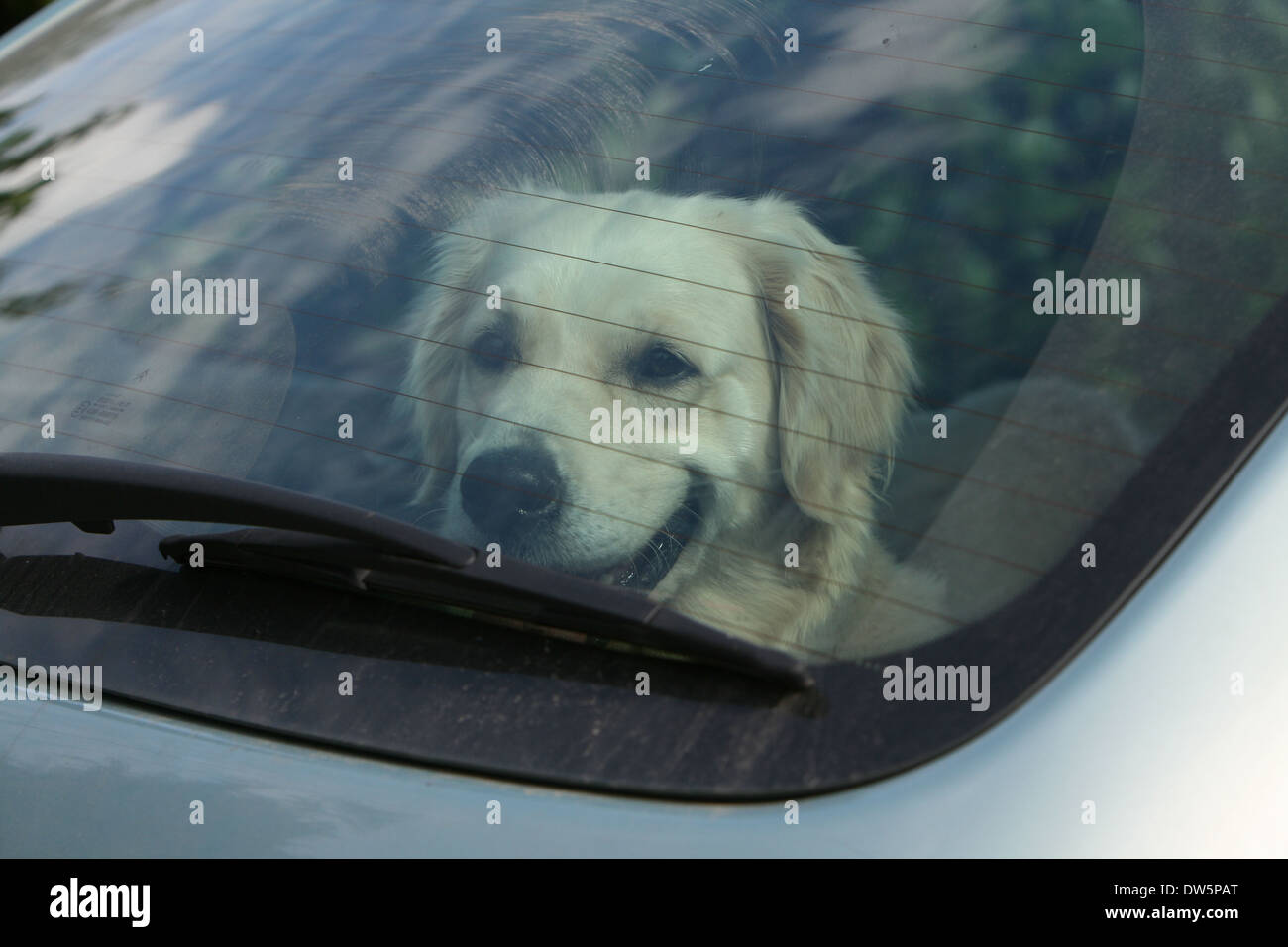 Dog Golden Retriever / adult  in a car looking out window - Stock Image