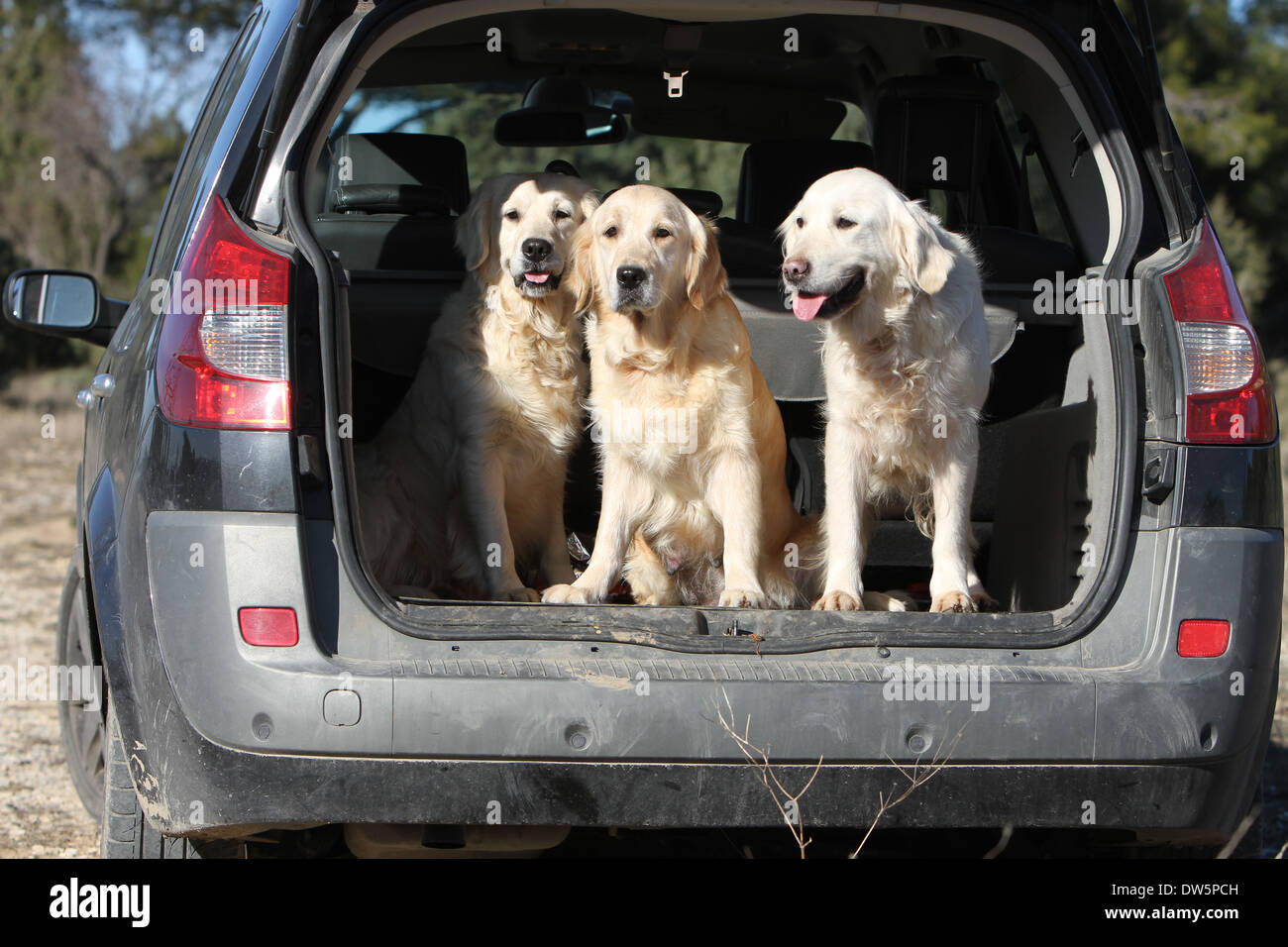Dog Golden Retriever / three adults in the trunk of the car - Stock Image