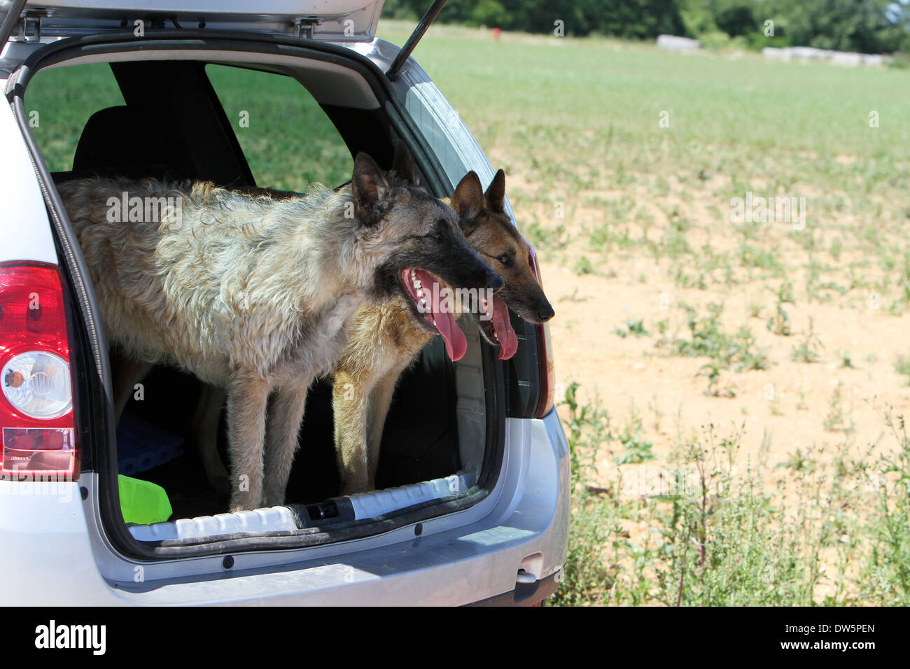 Dog Belgian shepherd Laekenois  / two adults standing in the trunk of the car - Stock Image