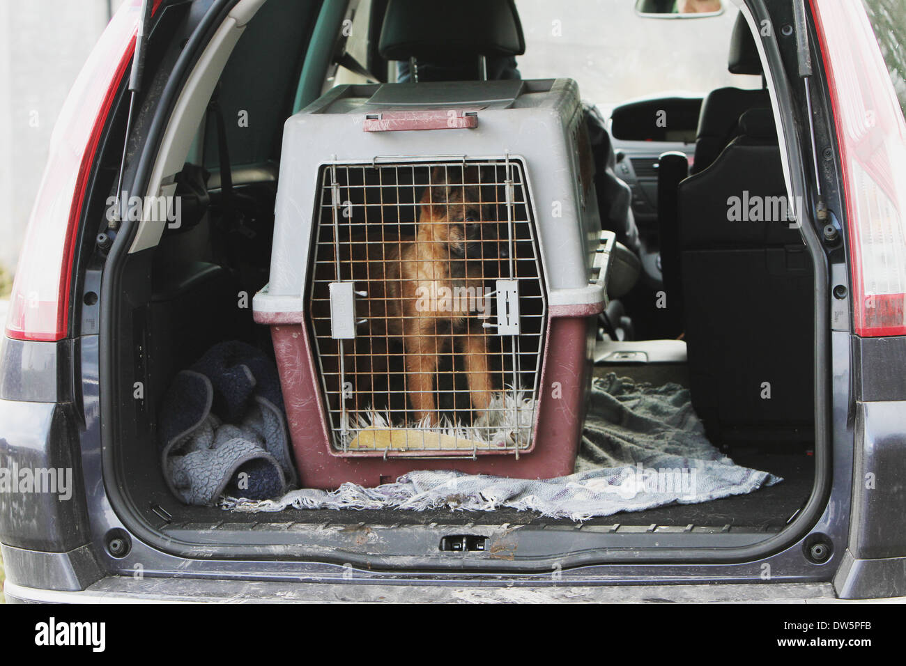 Dog Belgian shepherd Laekenois  / puppy traveling in a cage in the trunk of the car - Stock Image