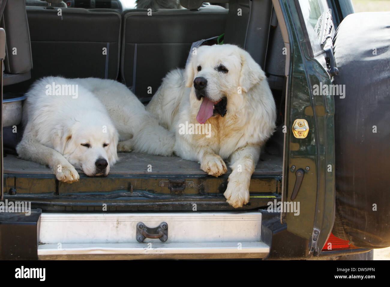 Dog Polish Tatra Sheepdog / Tatra Mountain Sheepdog / Podhale / adult and young lying in the trunk of the car Stock Photo