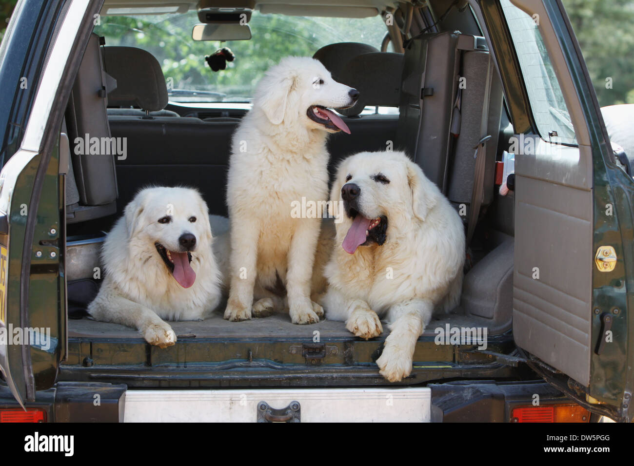 Dog Polish Tatra Sheepdog / Tatra Mountain Sheepdog / Podhale / two adults and a young in the trunk of the car - Stock Image