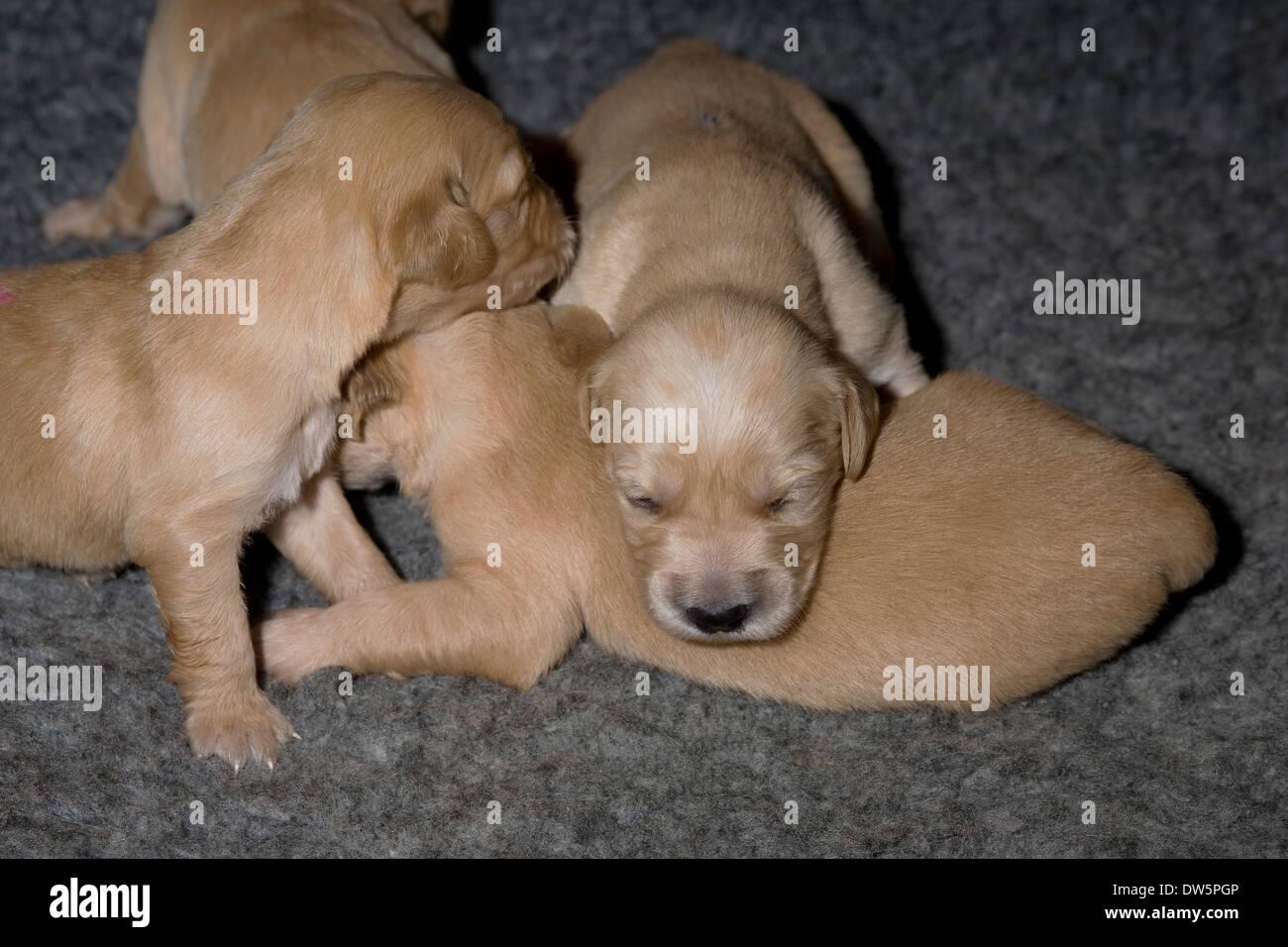 Golden Retriever Puppies Resting Stock Photos Golden Retriever