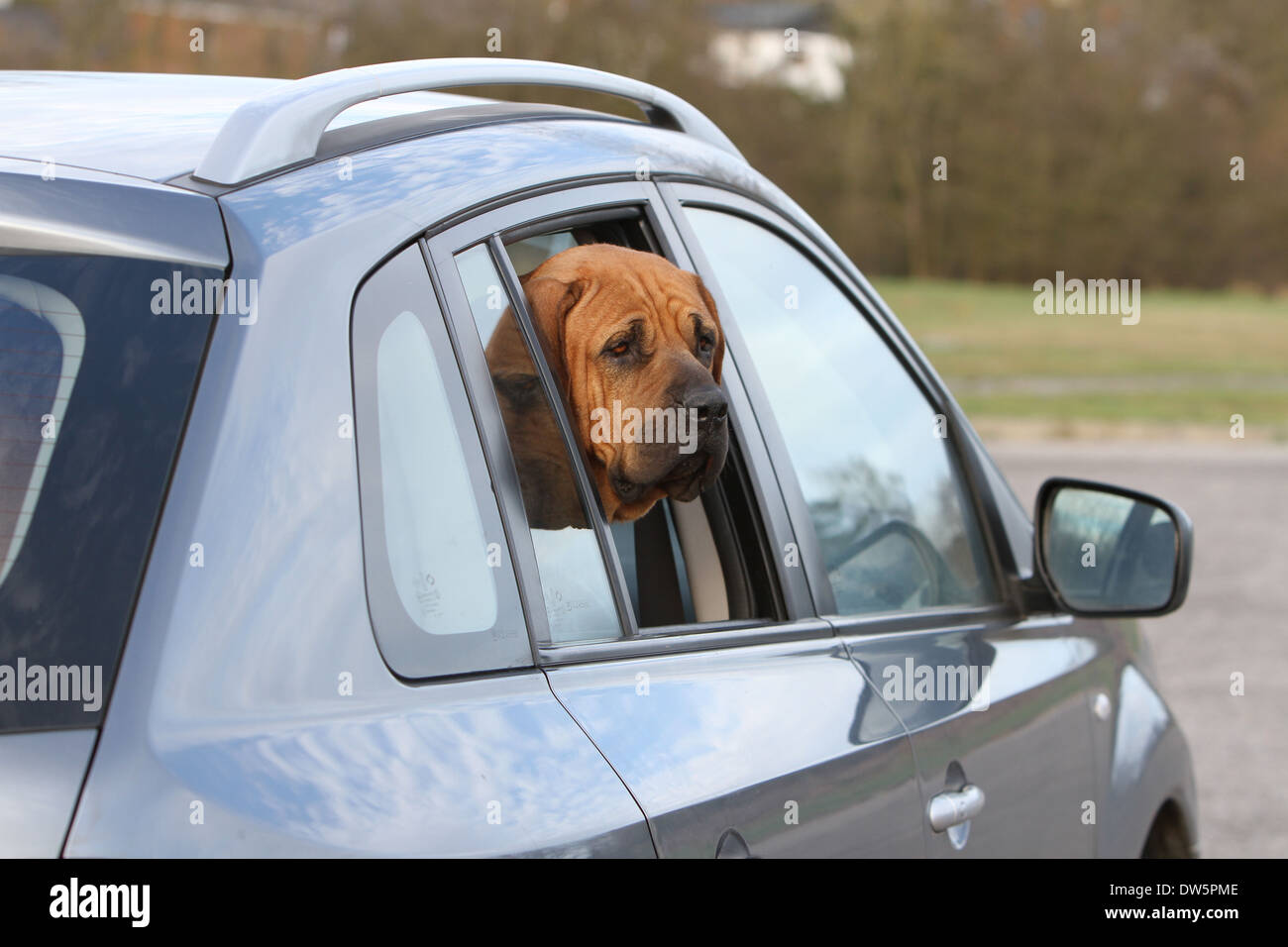 Dog Tosa Inu / Japanese Mastiff  / adult looking out of car window - Stock Image