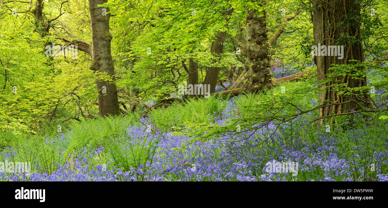 Bluebell woodland in Priors Wood, Portbury, Avon, England. Spring (May) 2013. - Stock Image