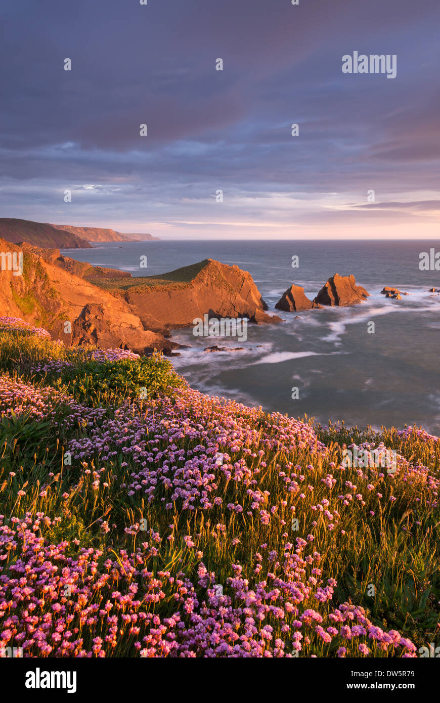 Flowering pink thrift on the cliffs above Hartland Quay looking towards Screda Point, Devon, England. Spring (May) 2013. - Stock Image