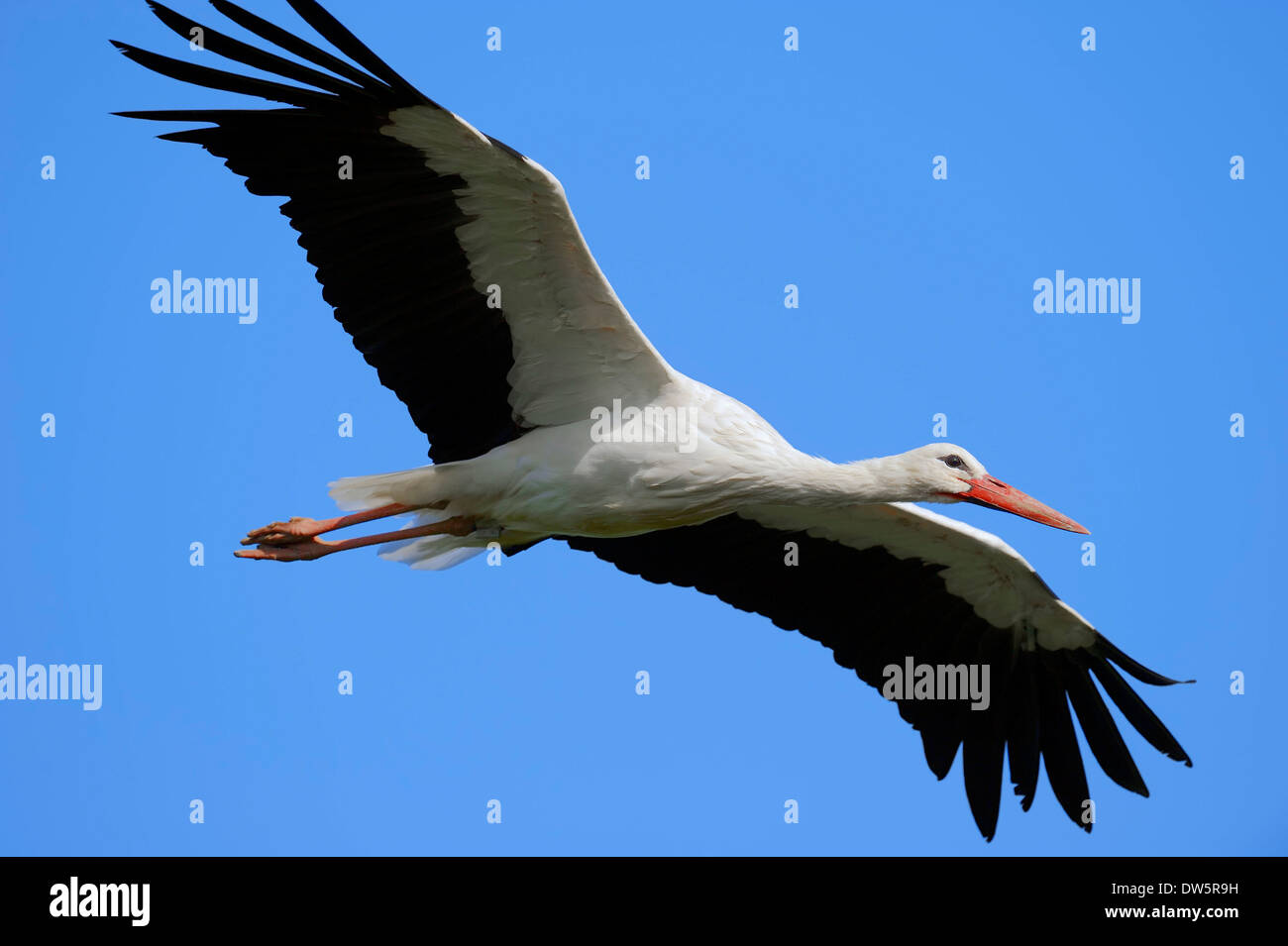 White Stork (Ciconia ciconia), North Rhine-Westphalia, Germany - Stock Image