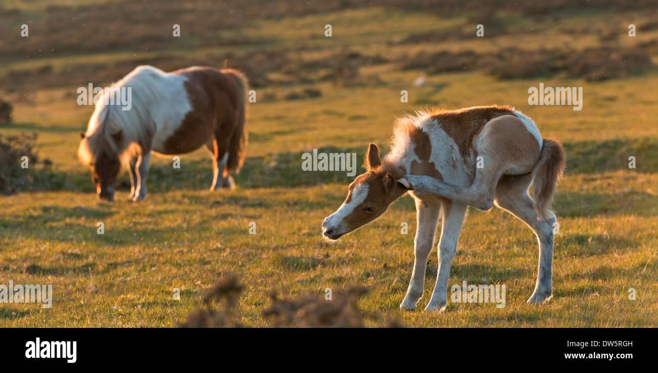 Dartmoor foal in amusing pose while scratching, Dartmoor National Park, Devon, England. Summer (June) 2013. - Stock Image