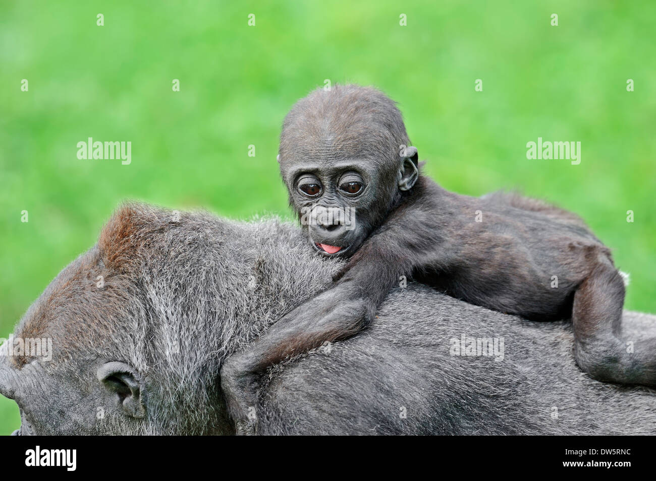 Western Lowland Gorilla (Gorilla gorilla gorilla), female with young Stock Photo