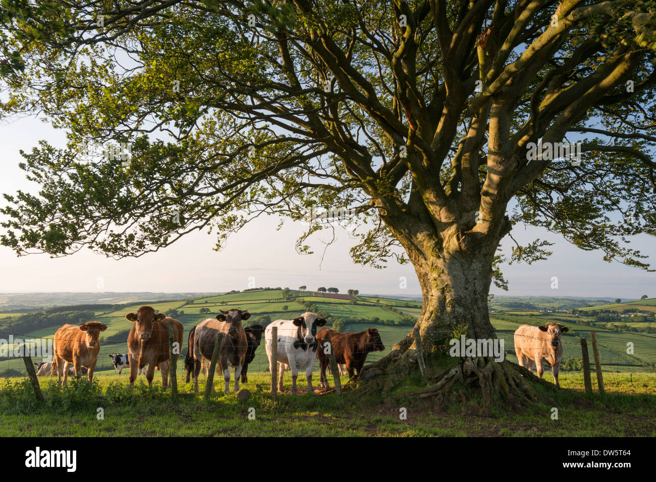 Curious cattle beneath a tree in Devon, England. Summer (June) 2013. - Stock Image