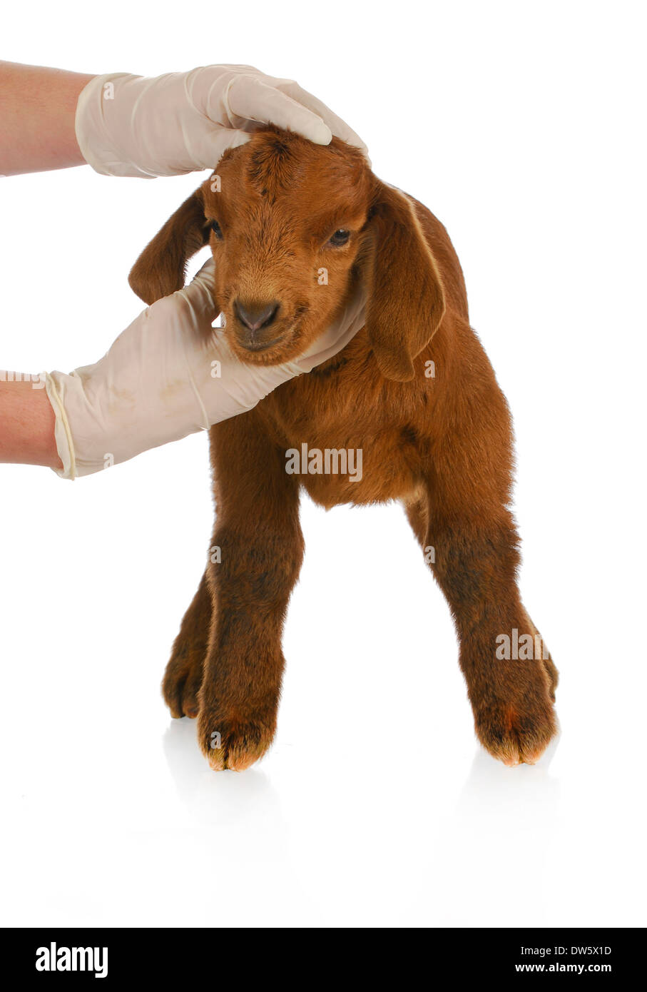 veterinary care - veterinarian examining young goat on white background - Stock Image