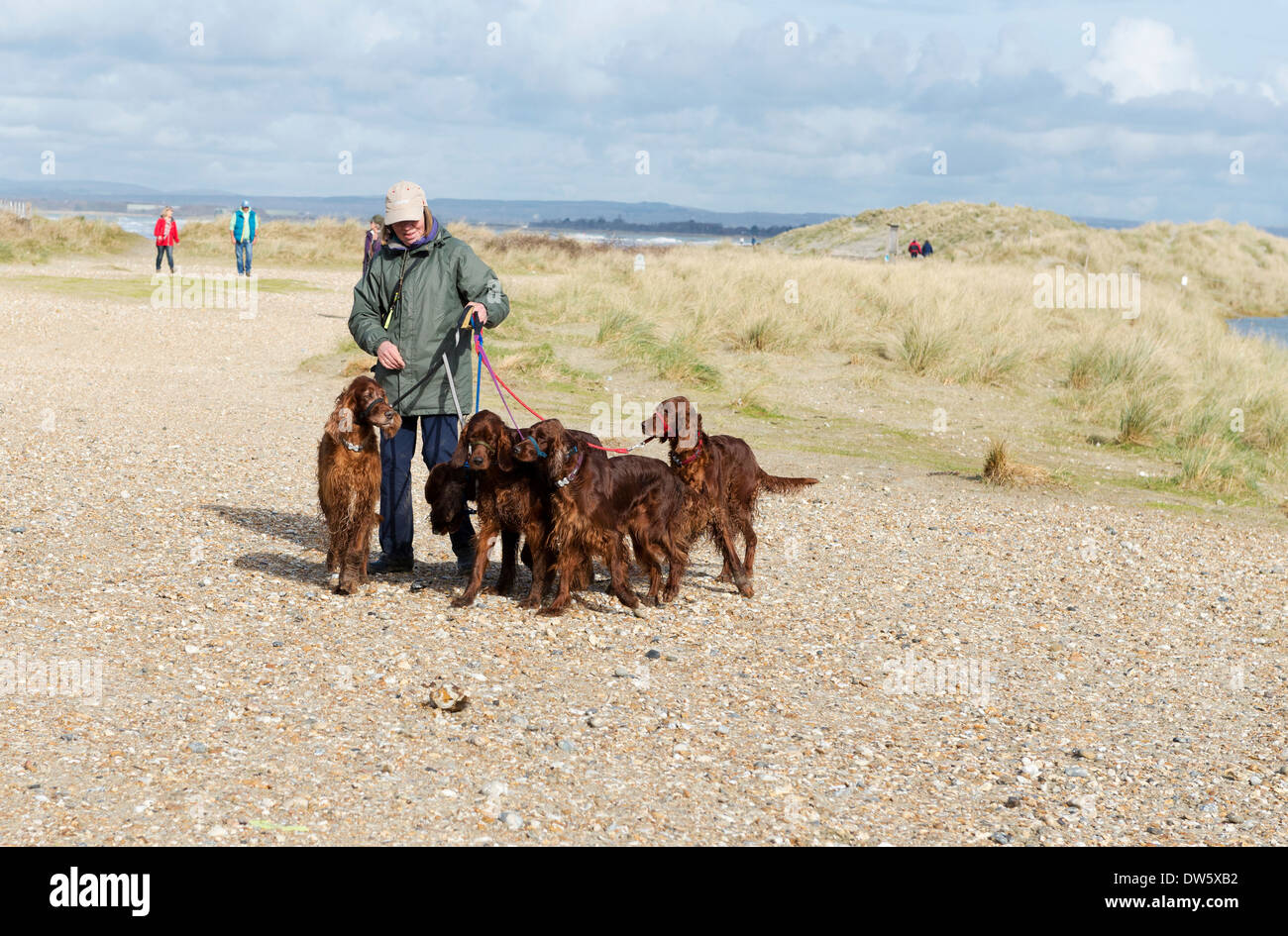 Woman walking with her four red setter dogs on leads at west wittering beach east head west sussex UK ( editorial use only ) - Stock Image