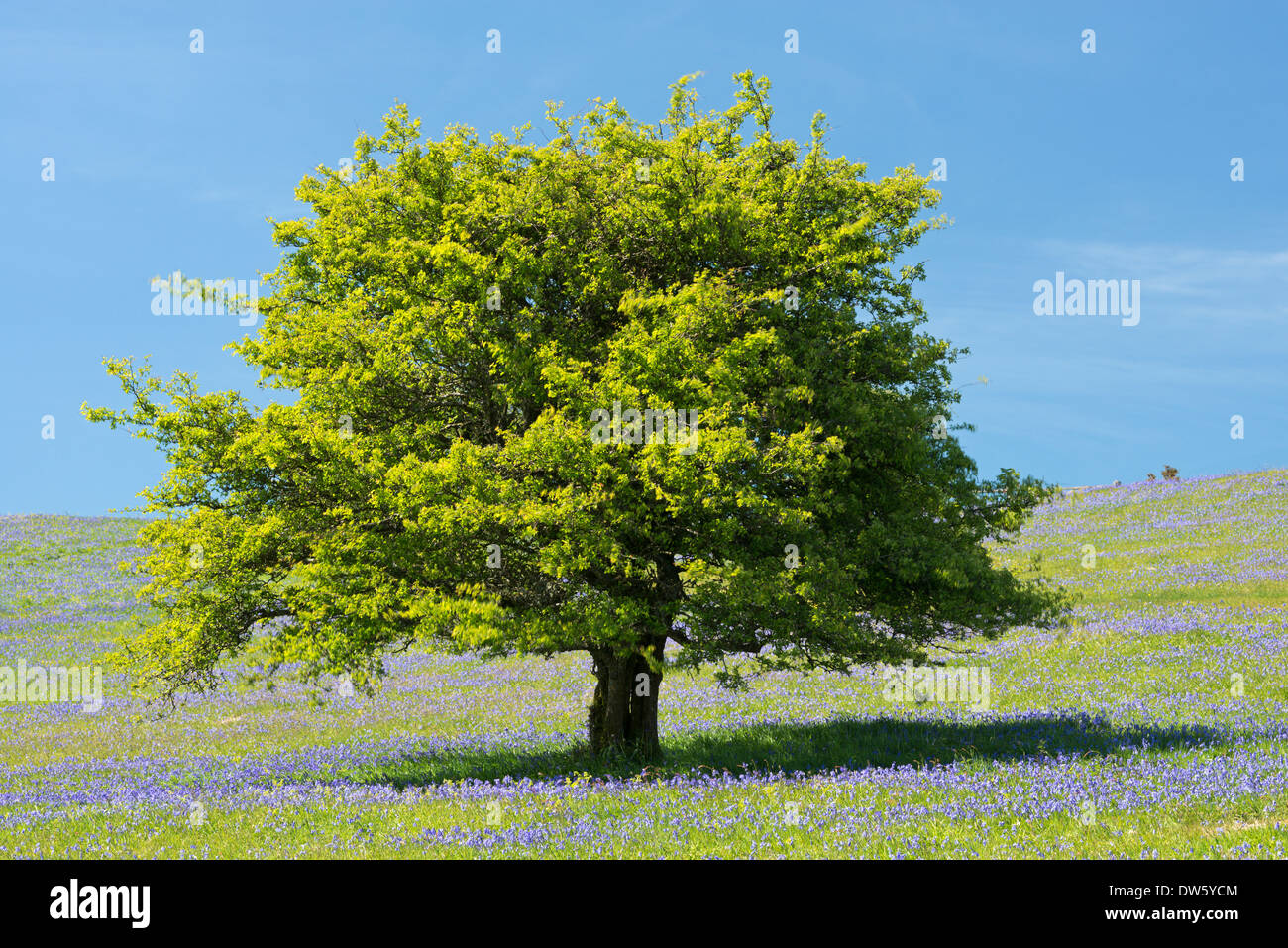 Hawthorn tree and Bluebells flowering on Holwell Lawn, Dartmoor, Devon, England. Spring (June) 2013. - Stock Image