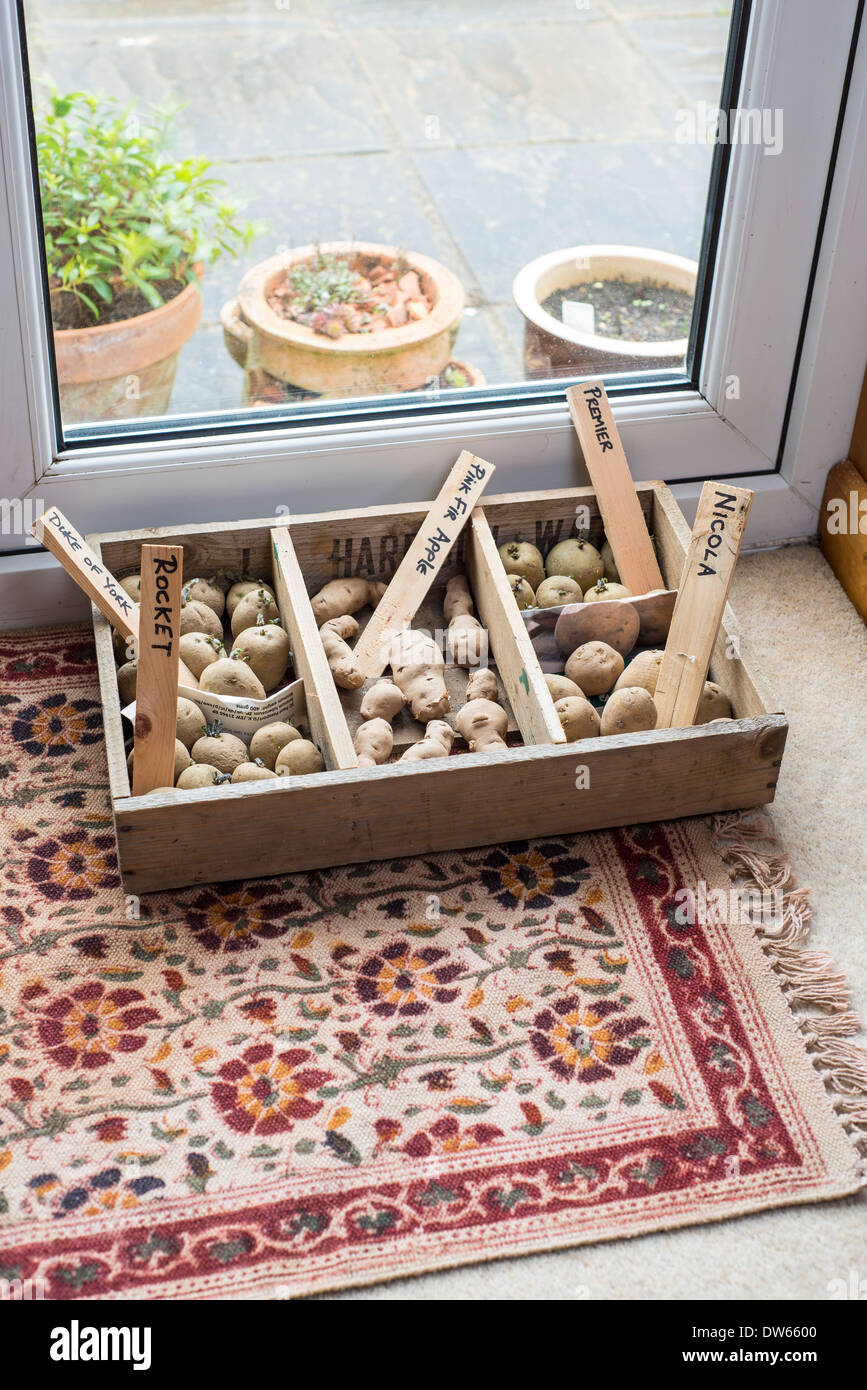 Seed potatoes in chitting tray by lounge french windows. - Stock Image