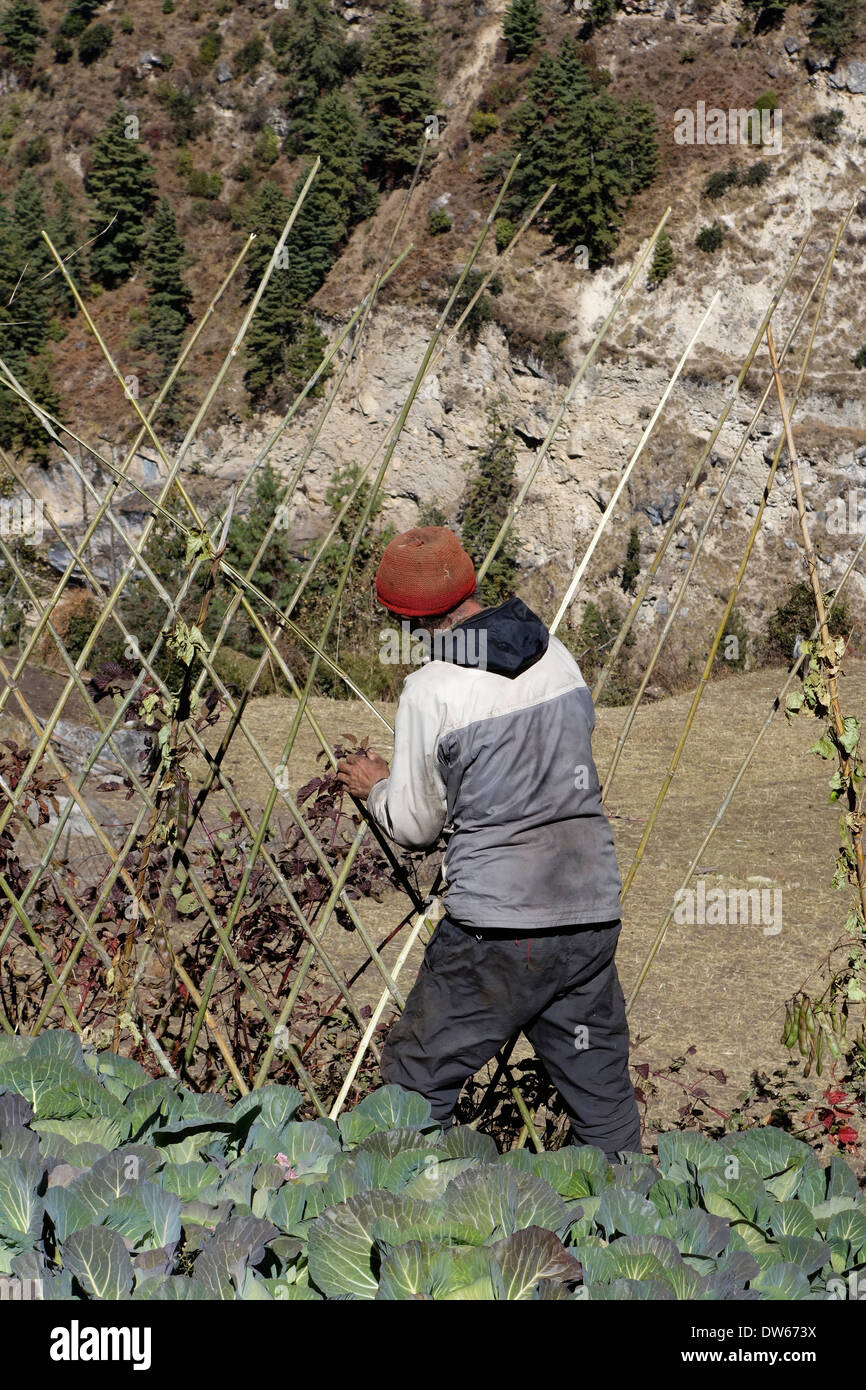 Building a bamboo fence in the village of Lihi, Nepal. - Stock Image