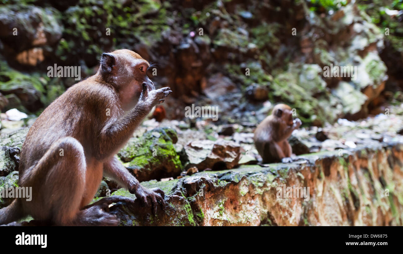 Cave monkeys at the Batu Caves in Kuala Lumpur. - Stock Image