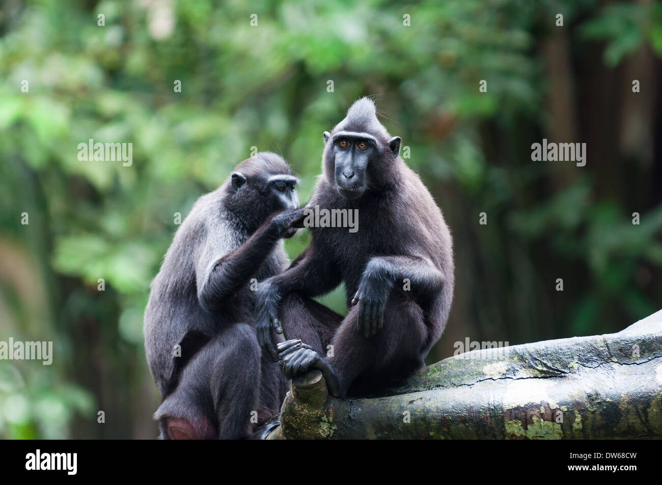 Sulawesi crested macaque (macaca niger) at the Singapore Zoo. - Stock Image