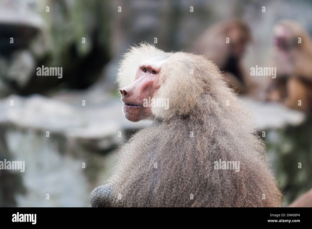 Hamadryas baboons at the Singapore Zoo. - Stock Image