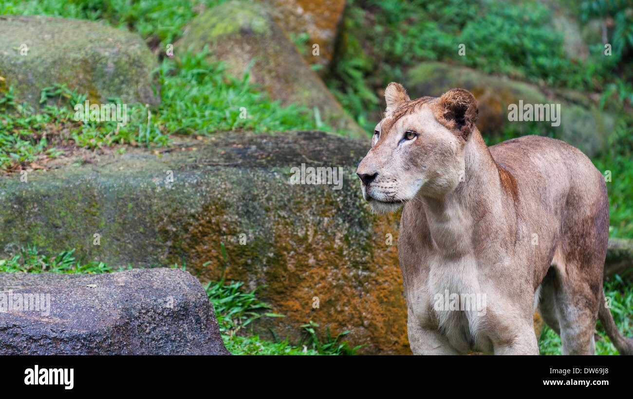 A female lion (panthera leo) looks about her enclosure at the Singapore Zoo. Stock Photo