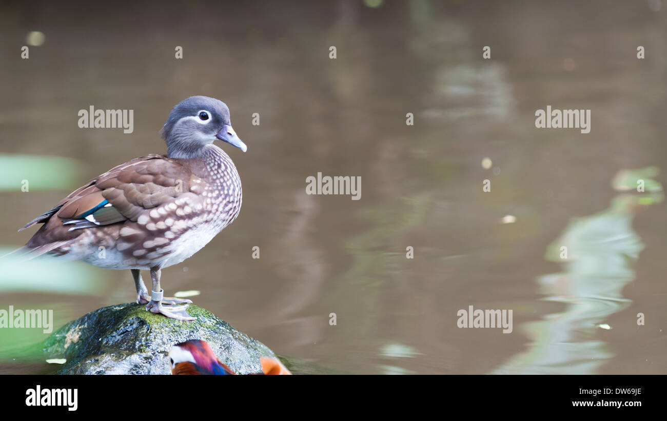 Mandarin duck (Aix galericulata) at the Jurong Bird Park in Singapore. - Stock Image