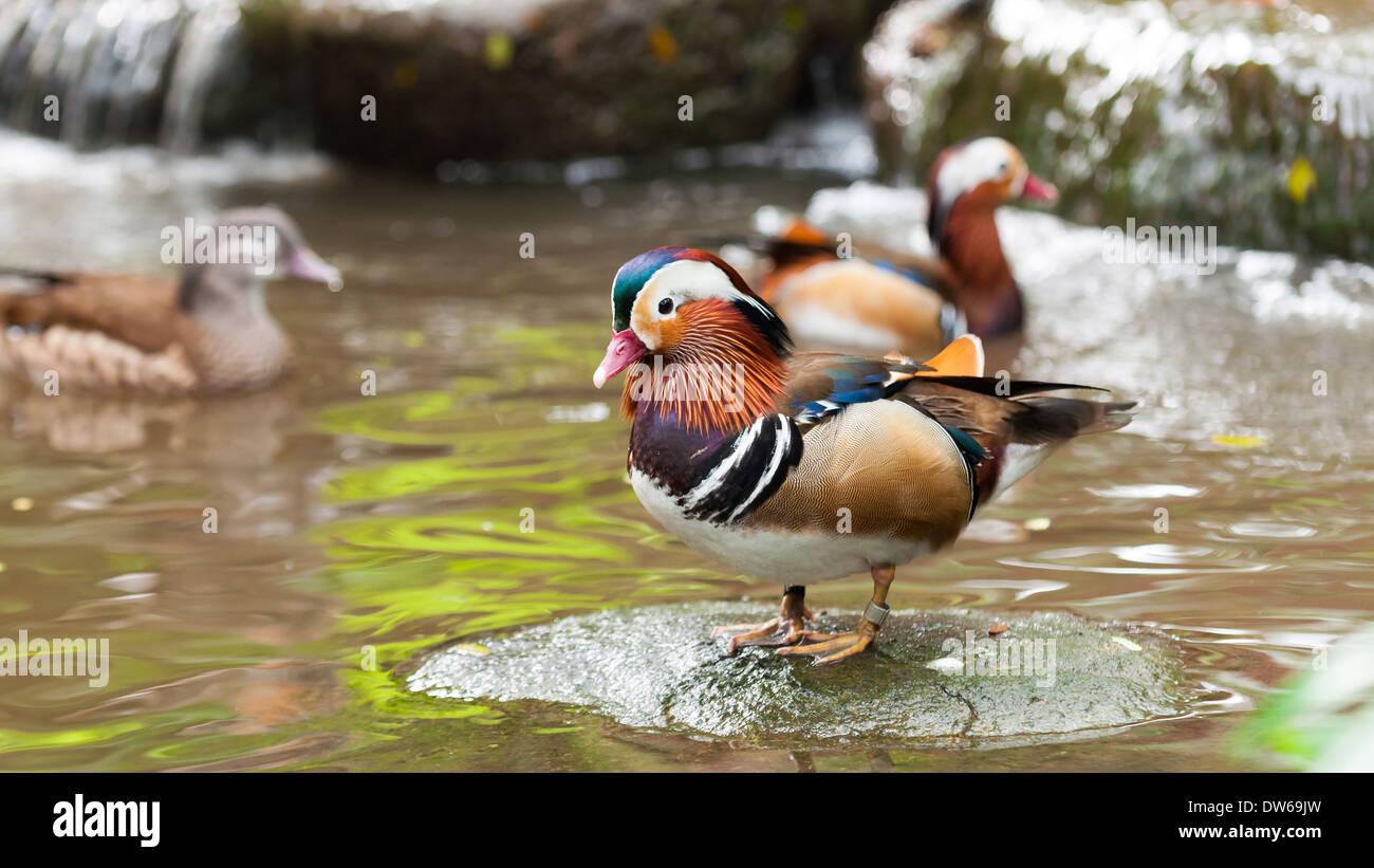 Mandarin duck (Aix galericulata) at the Jurong Bird Park in Singapore. - Stock Image