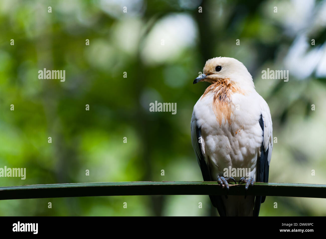 A pied imperial pigeon (ducula bicolor) at the Jurong Bird Park in Singapore. Stock Photo