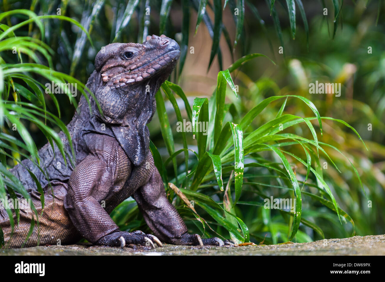 A rhinoceros iguana (cyclura cornuta) basks in the sunlight on a rock at the Singapore Zoo. - Stock Image