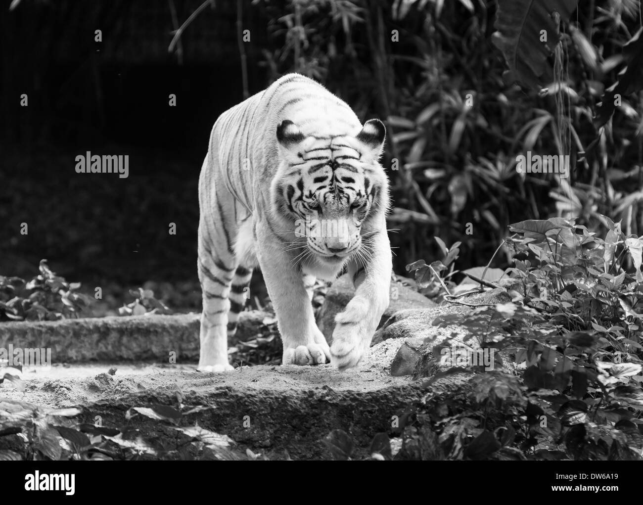White bengal tiger at the Singapore Zoo. - Stock Image