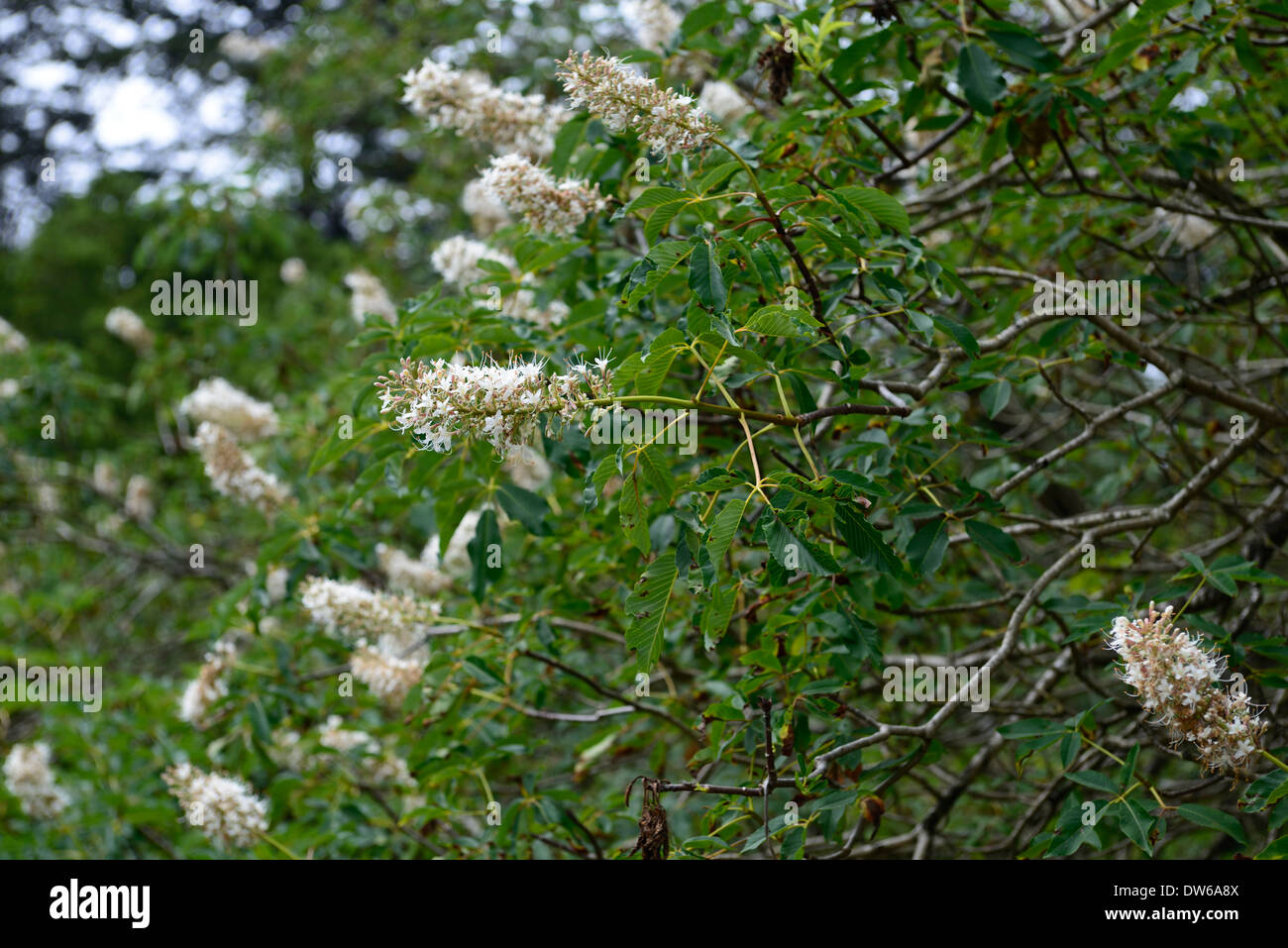 California Buckeye Tree Stock Photos California Buckeye Tree Stock