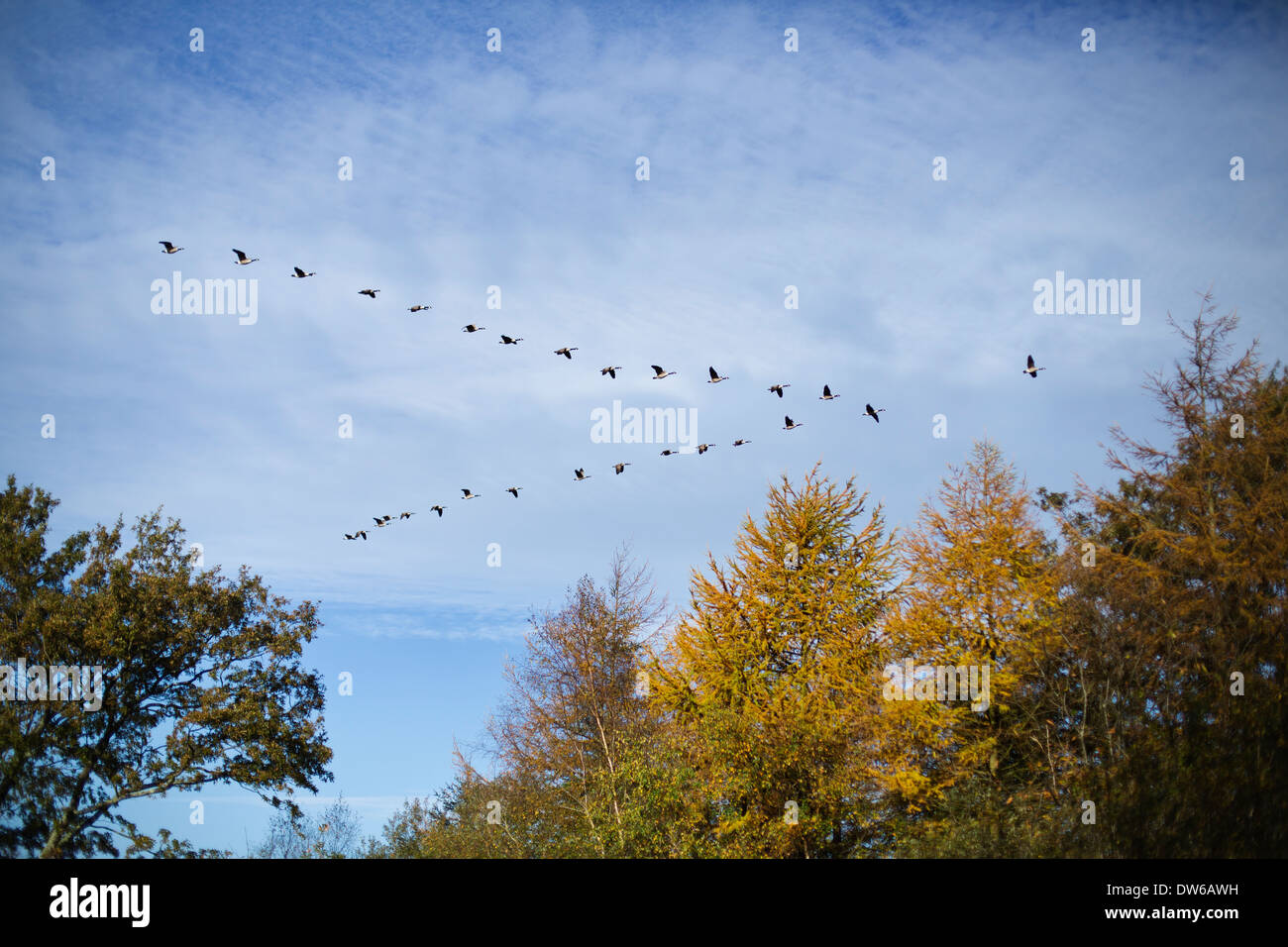 canada geese flying in v formation stock photo 67137773 alamy