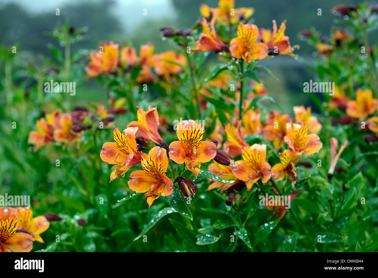 Alstroemeria Marmalade Peruvian Lily Butterfly Lily Orange Flower