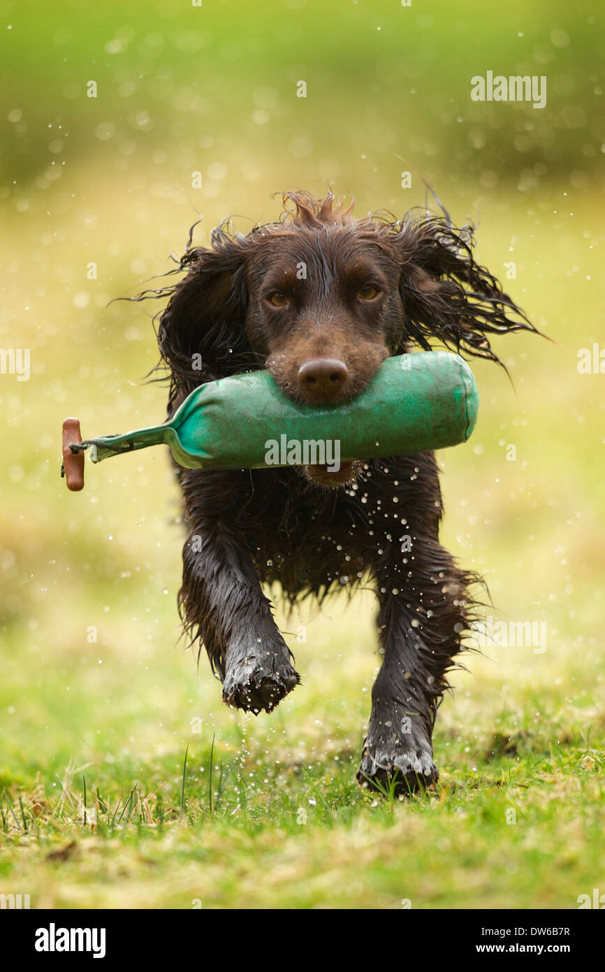 Working cocker spaniel dog retrieving a training dummy on a wet day - Stock Image