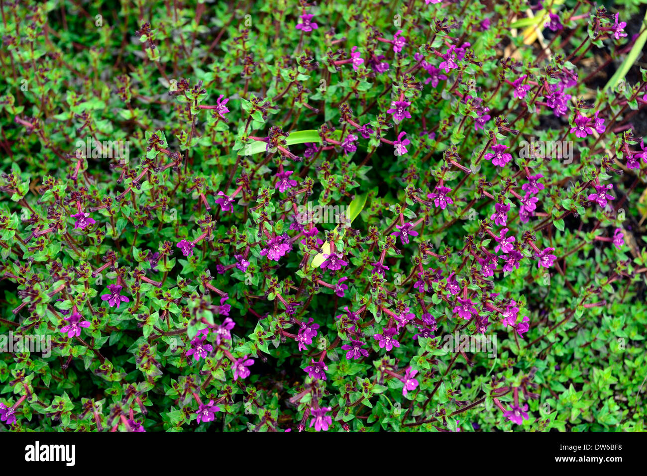Cuphea aequipetala purple flowers flower flowering evergreen stock cuphea aequipetala purple flowers flower flowering evergreen perennial groundcover ground cover plant mightylinksfo