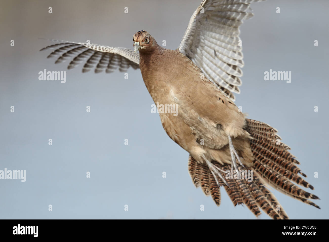 Pheasant Flying Stock Photos & Pheasant Flying Stock Images - Alamy