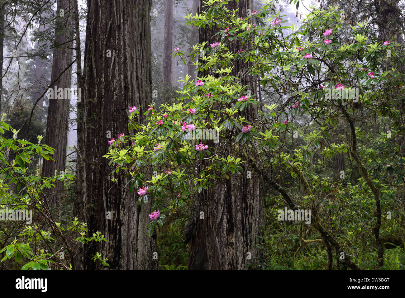rhododendron flowers rhododendrons flower redwood trunk del norte coastal redwoods forest dense growth flowering - Stock Image