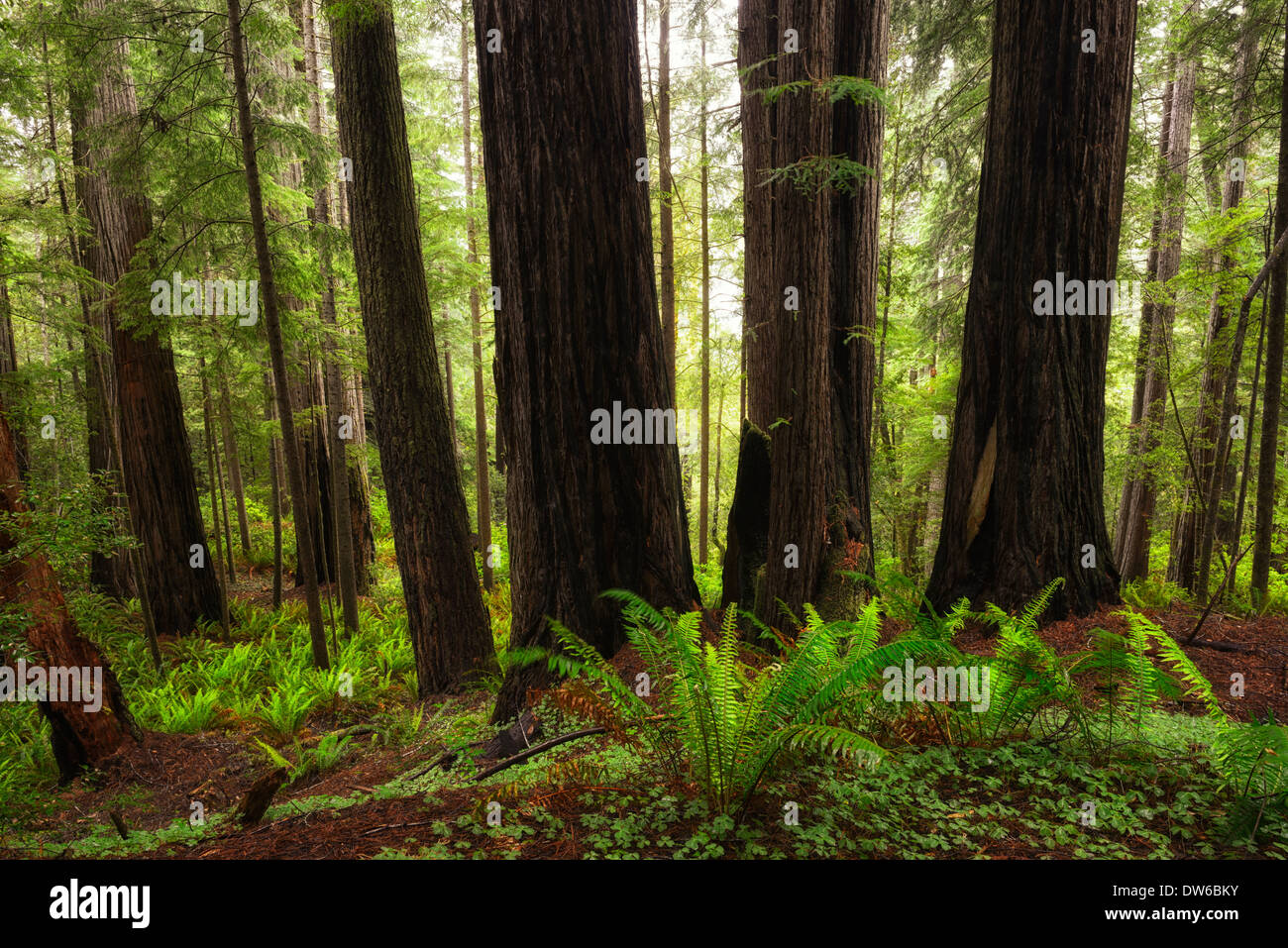 towering redwood tree trees trunk del norte coastal redwoods forest dense growth flowering sunrise glow - Stock Image