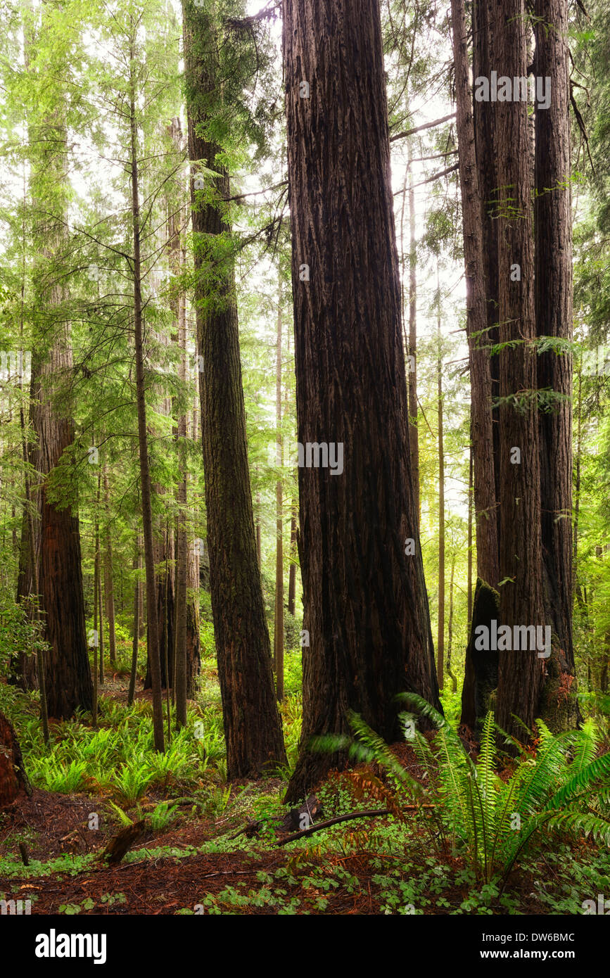 towering redwood tree trees trunk del norte coastal redwoods forest dense growth flowering sunrise glow Stock Photo