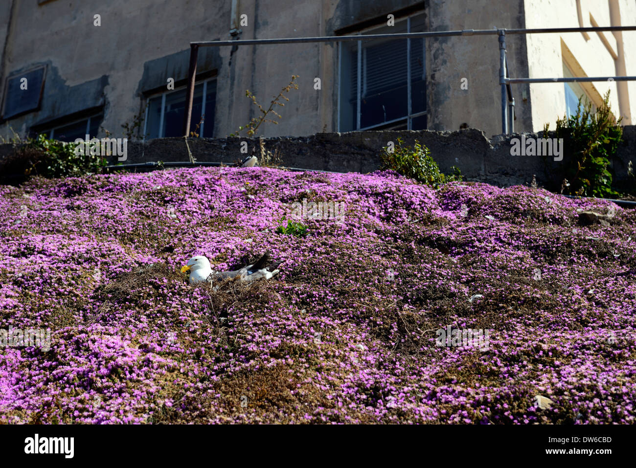Drosanthemum stock photos drosanthemum stock images alamy seagull nesting nest dense drosanthemum floribundum pink flowers groundcover ground cover showy dewflower rosea mightylinksfo Image collections