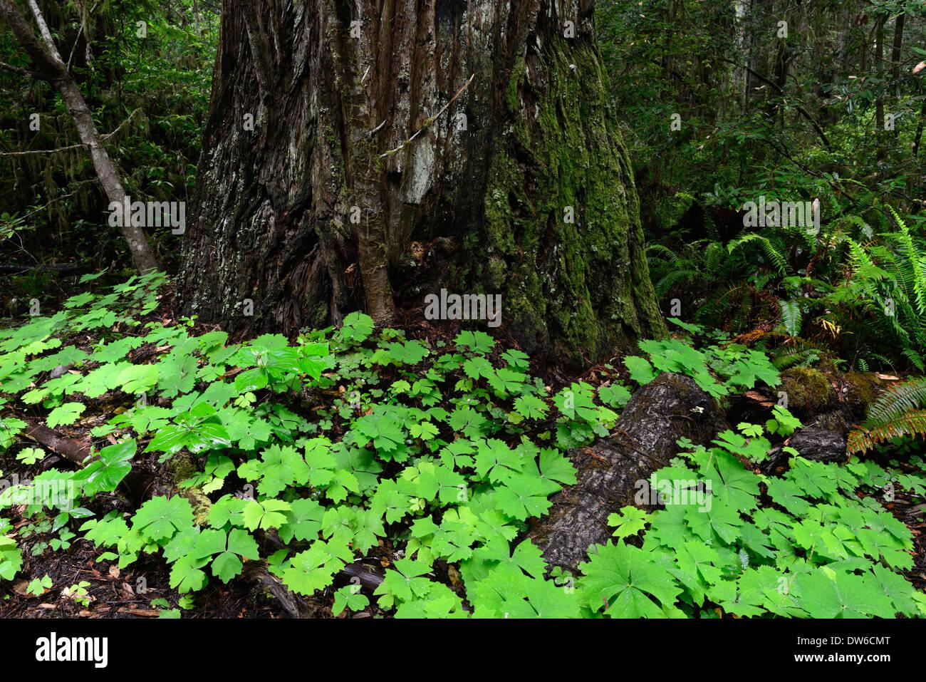 forest floor del norte coastal redwood redwoods california - Stock Image
