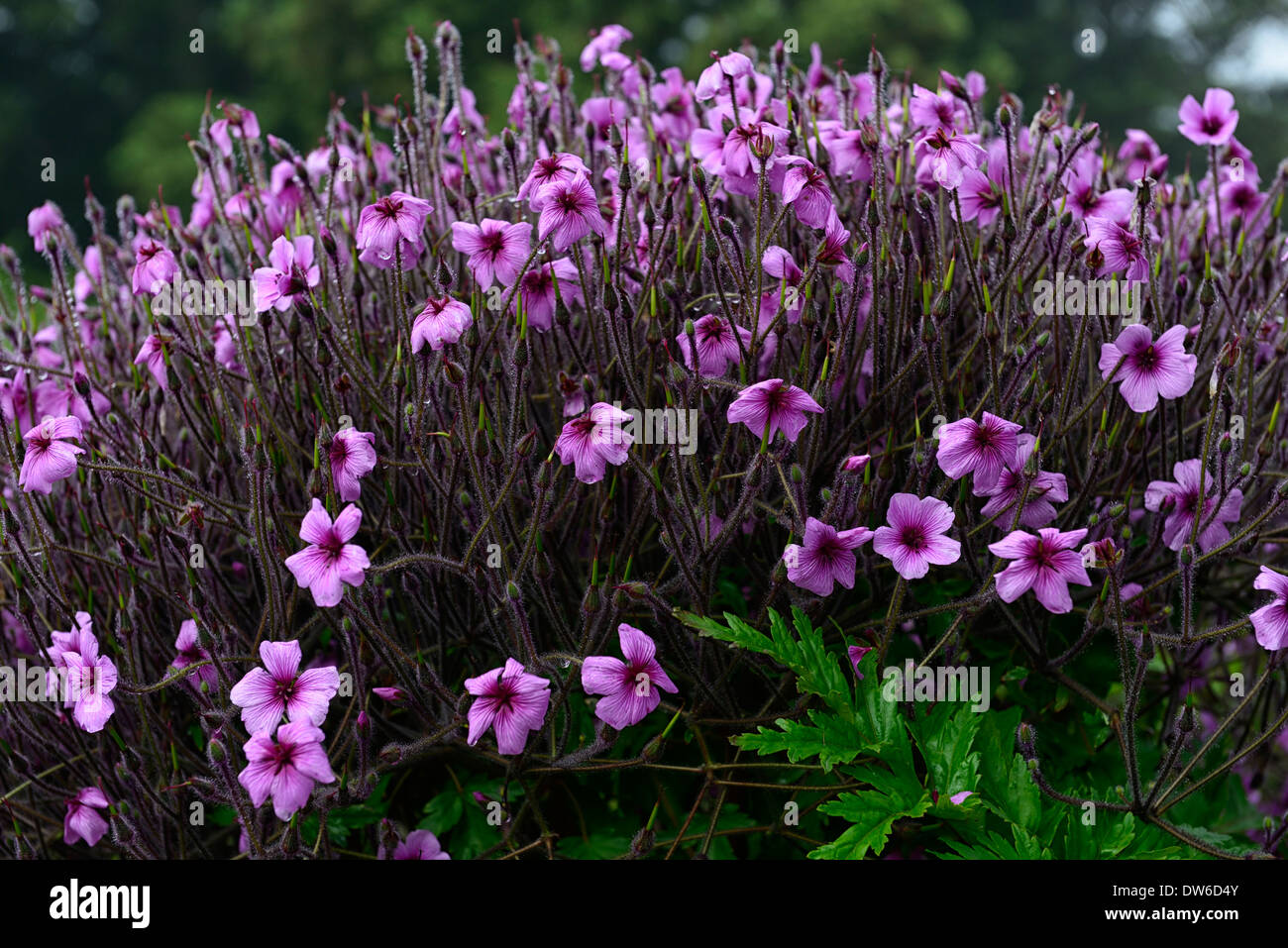 geranium maderense Madeira Cranesbill pink magenta plant plants flower flowers - Stock Image