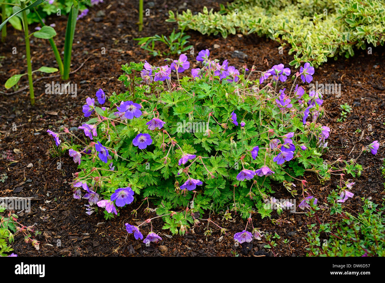 Geranium Rozanne Purple Flowers Flowering Geraniums Perennials Stock