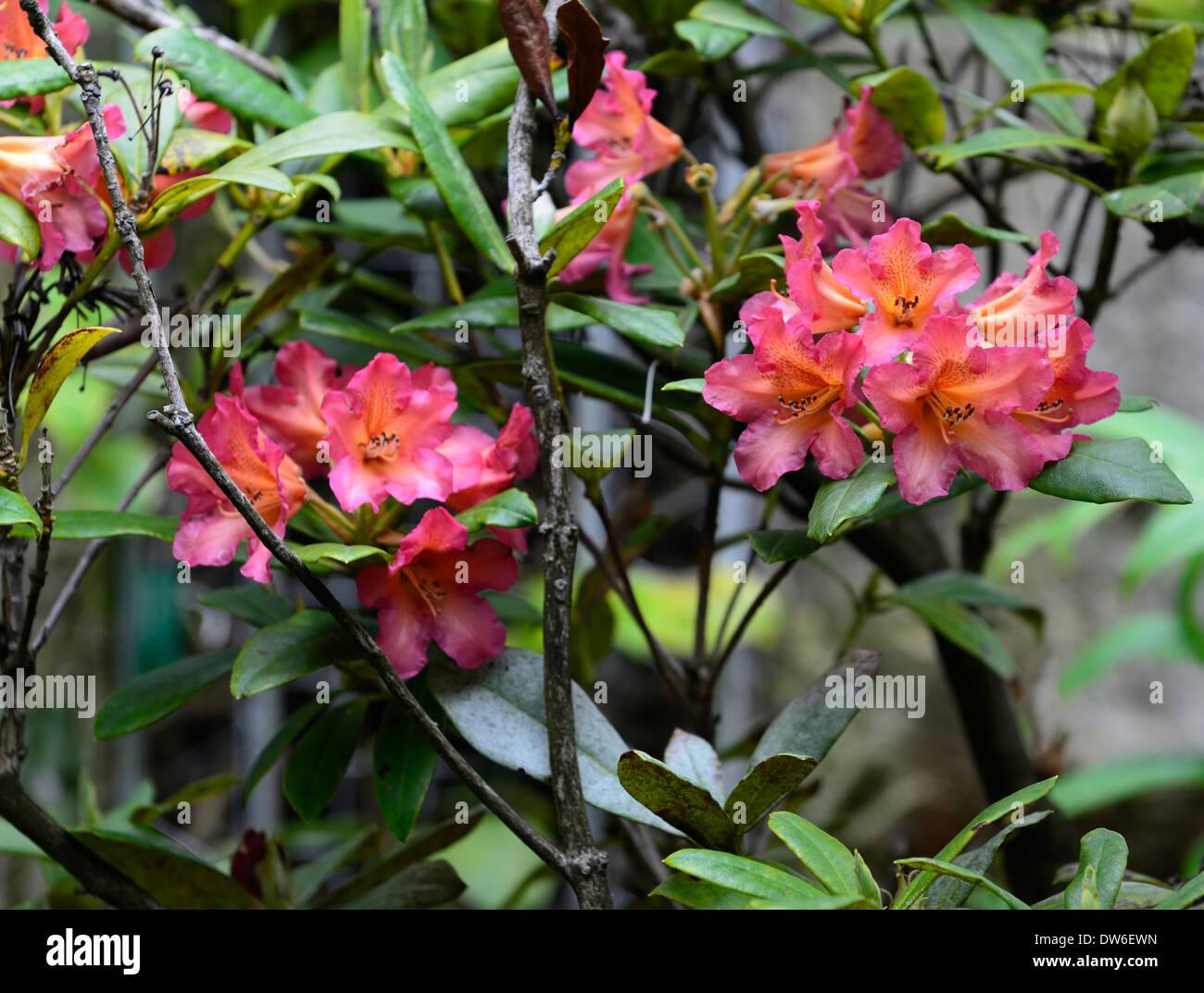 Rhododendron Dichroanthum Scyphocalyx Pink Orange Flowers Flower