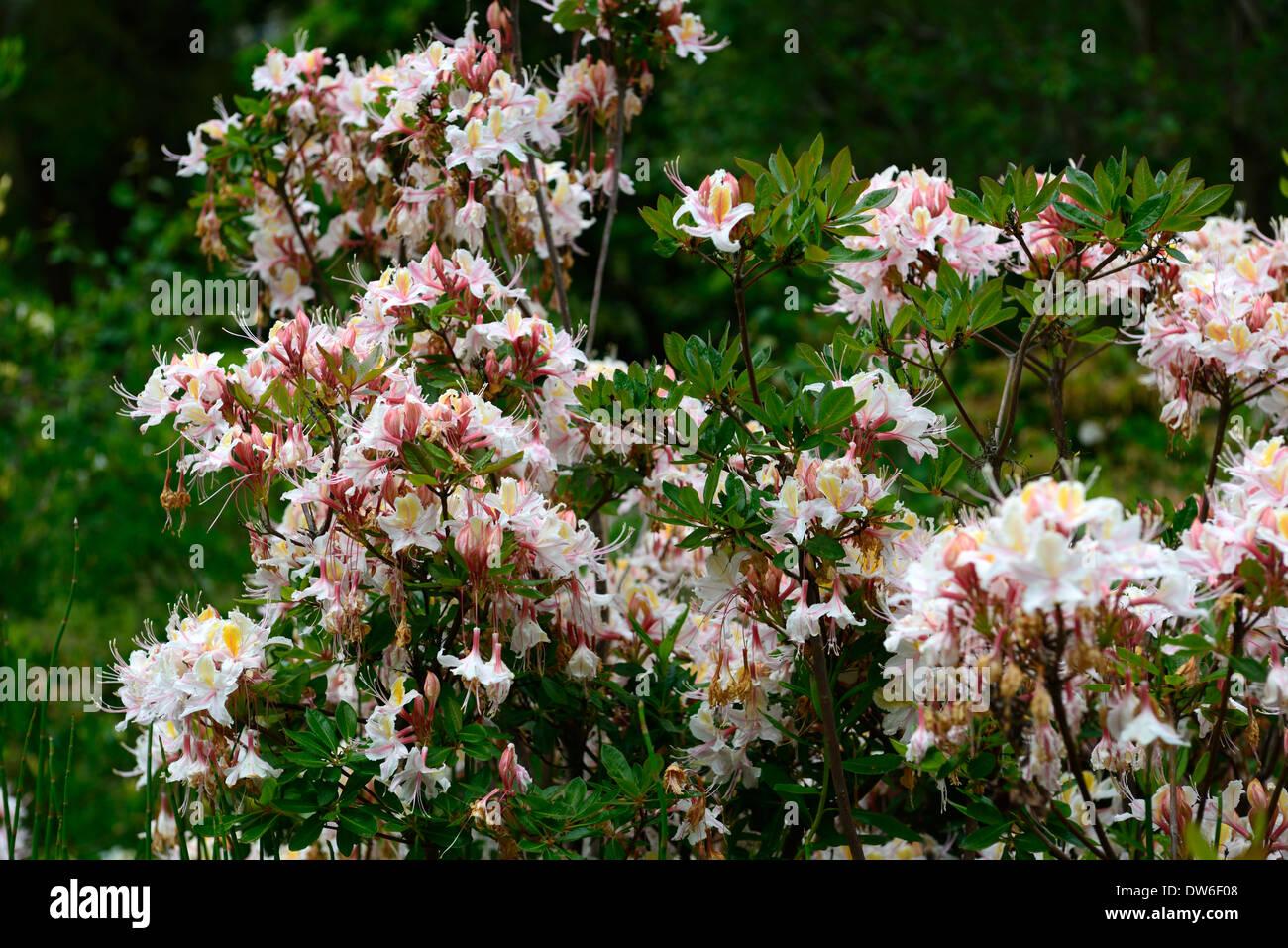 Rhododendron occidentale western azalea white pink flowers flower rhododendron occidentale western azalea white pink flowers flower flowering evergreen green leaves foliage tree trees mightylinksfo